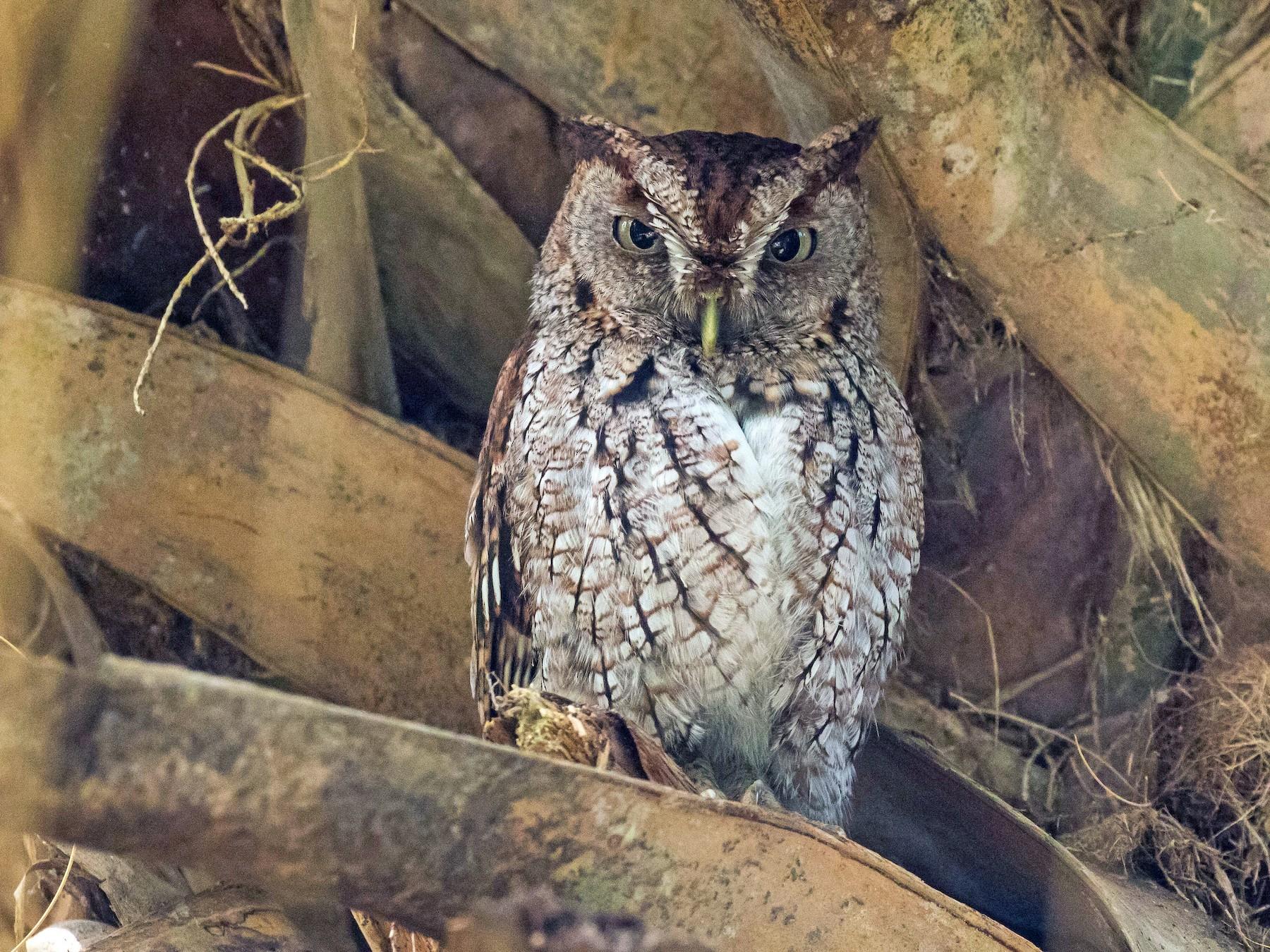 Eastern Screech-Owl - Nick Dorian