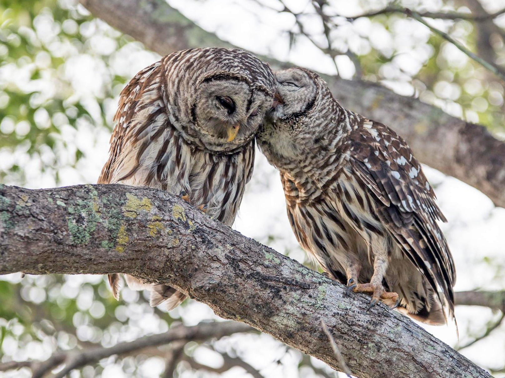 Barred Owl - Matthew Violette