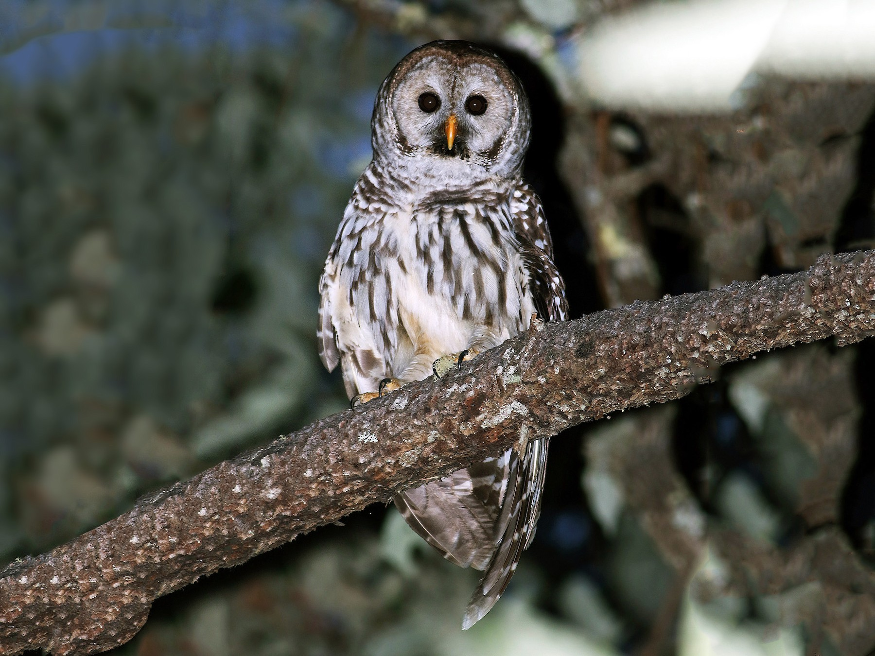 Barred Owl - Andrew Spencer