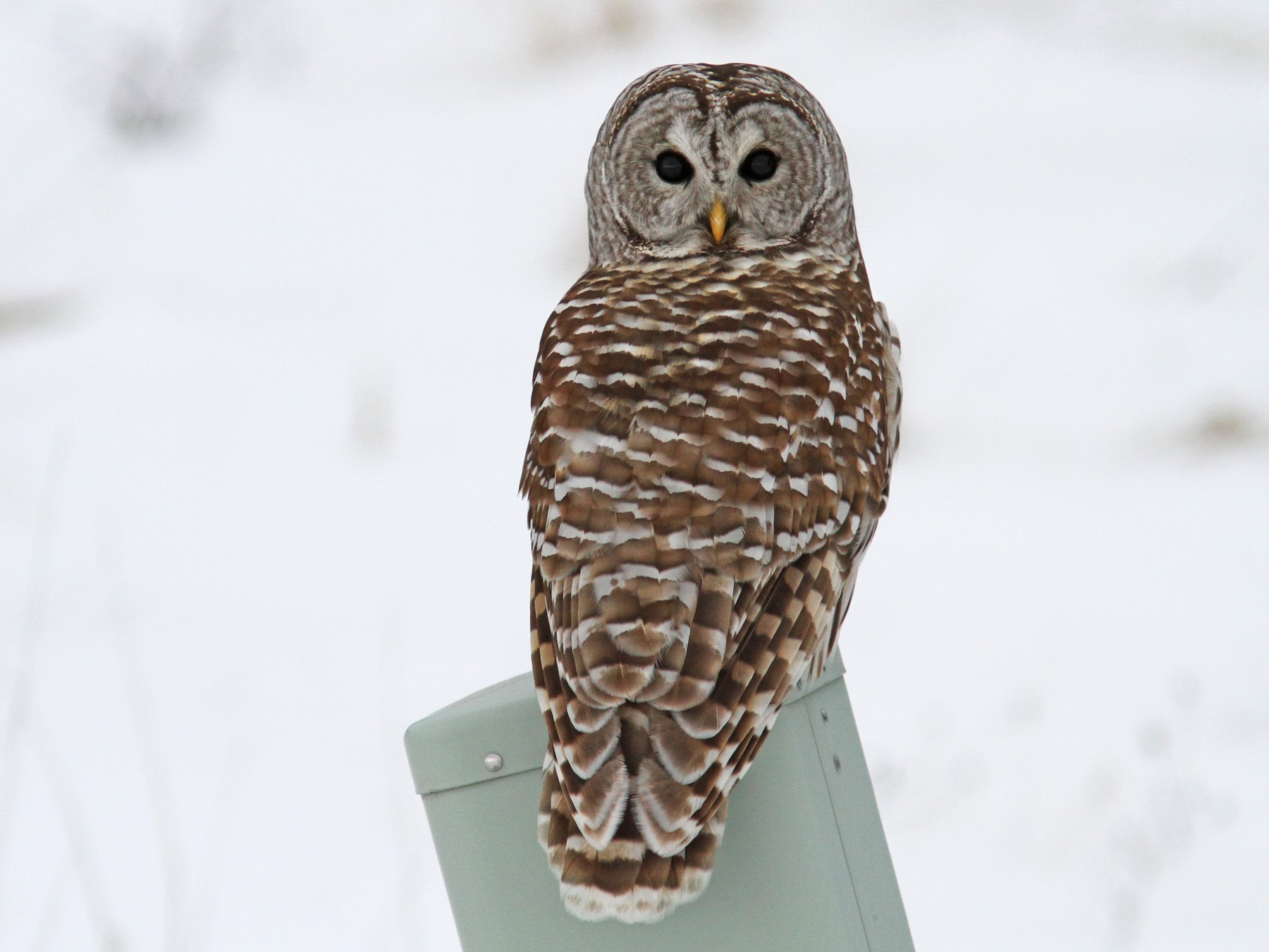 Barred Owl - Sean Fitzgerald