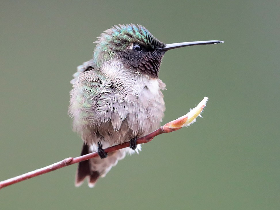 Ruby-throated Hummingbird - bellemare celine
