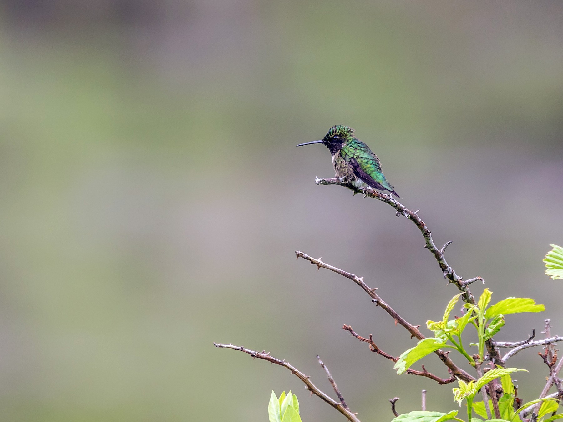 Ruby-throated Hummingbird - Paul Bigelow