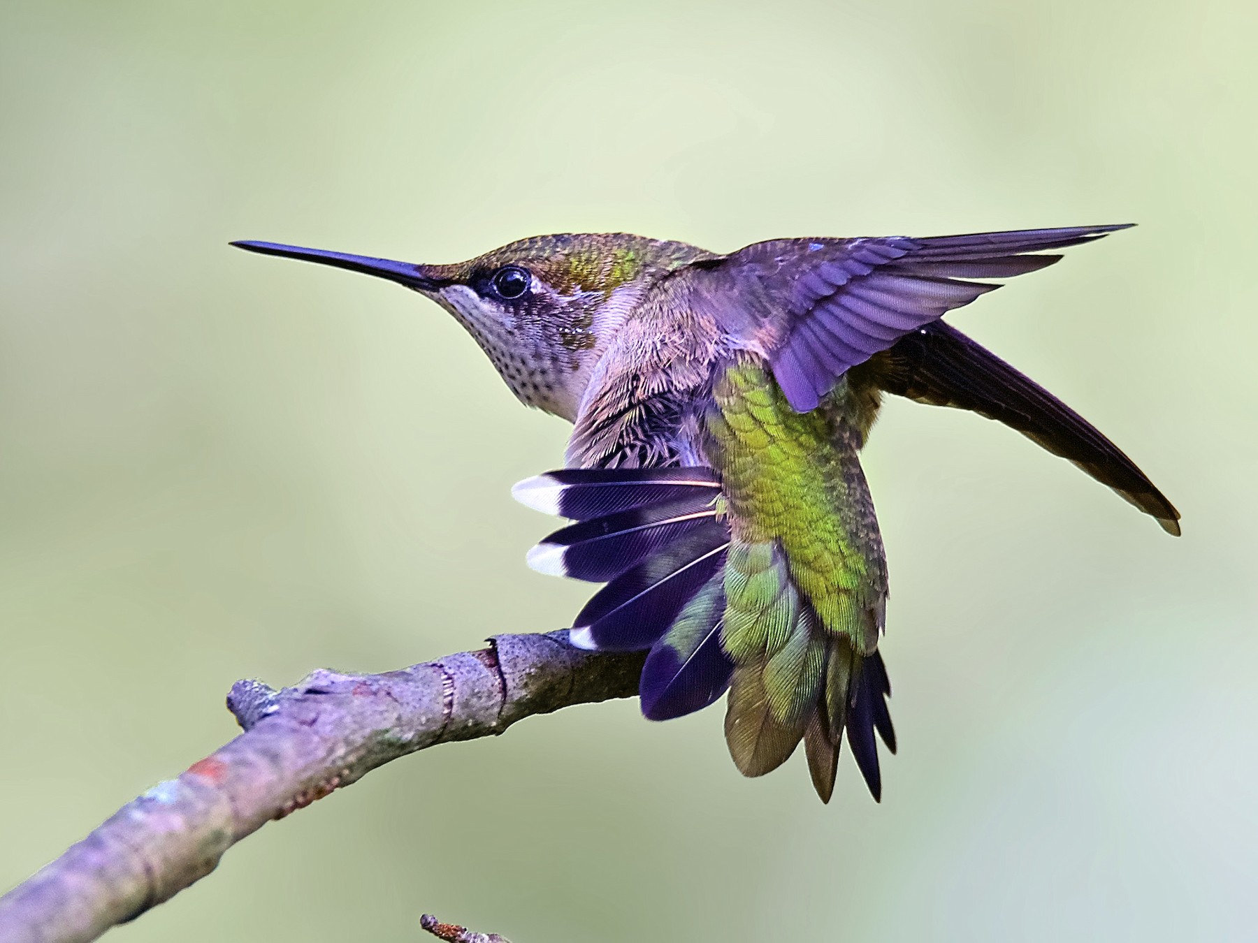Ruby-throated Hummingbird - Warren Lynn