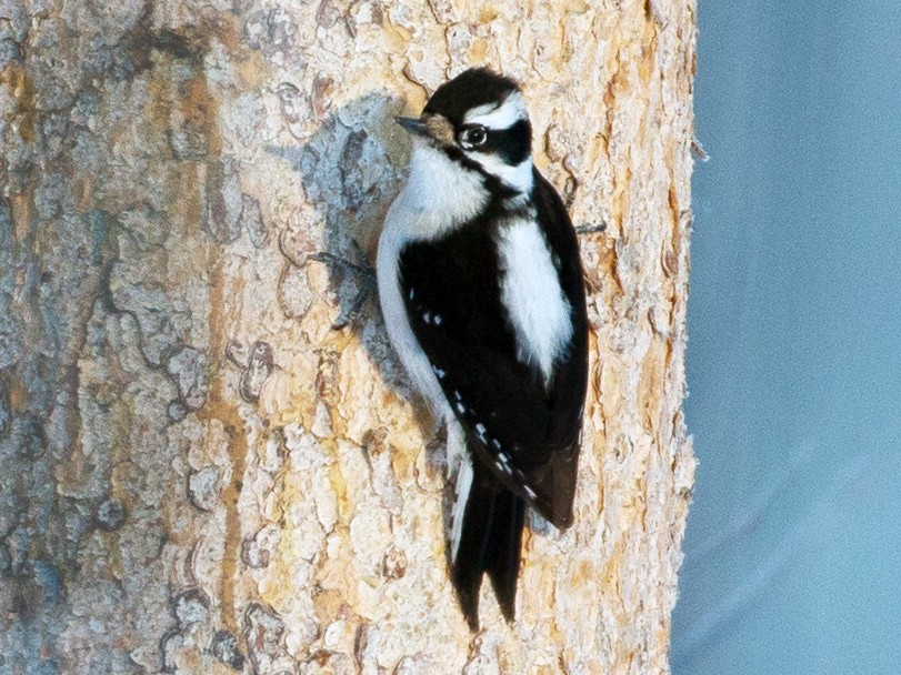 Downy Woodpecker - Chris Wood