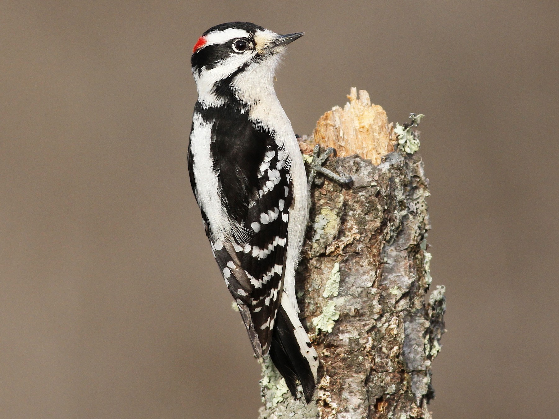 Downy Woodpecker - Evan Lipton