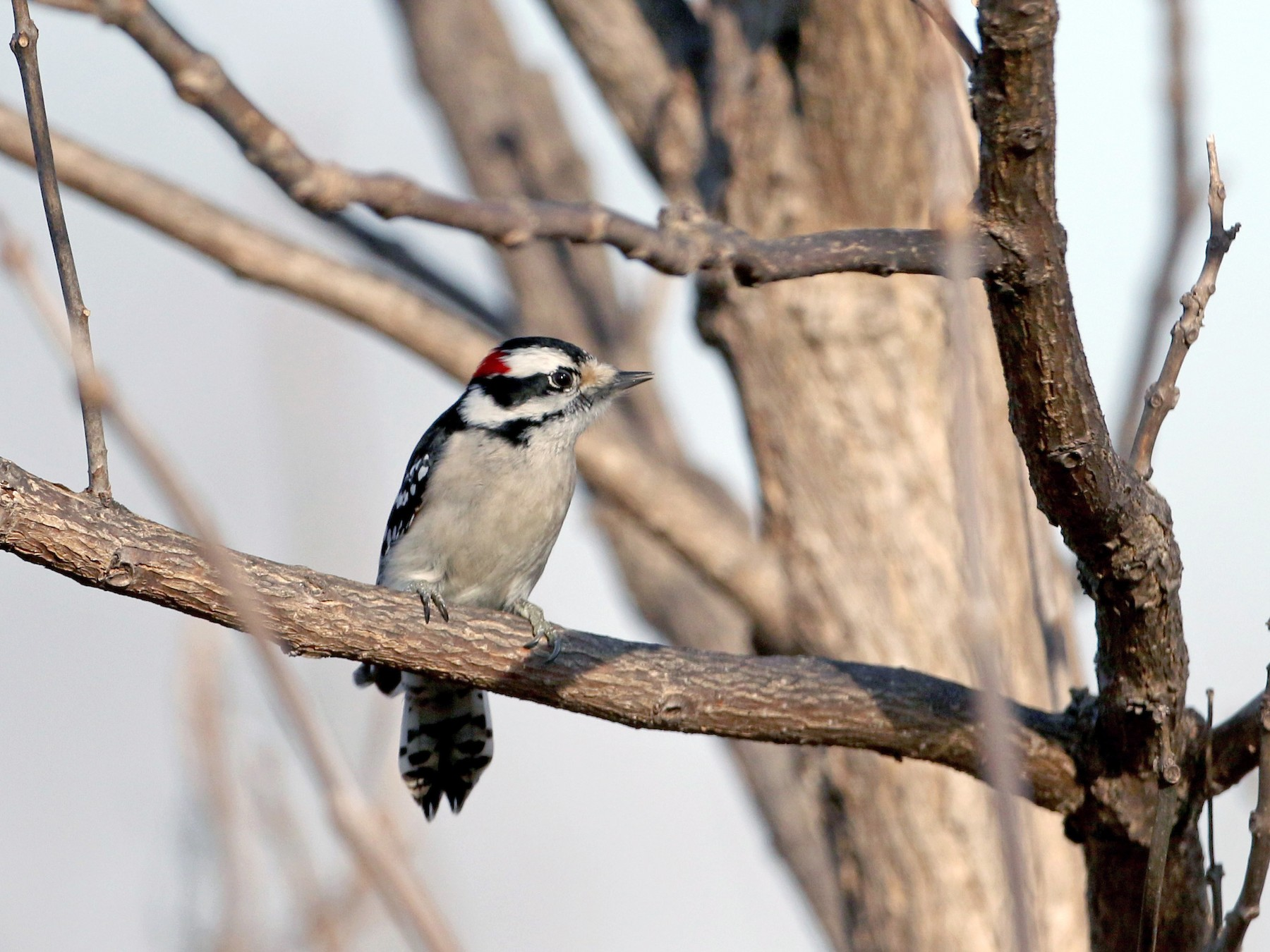 Downy Woodpecker - Jay McGowan