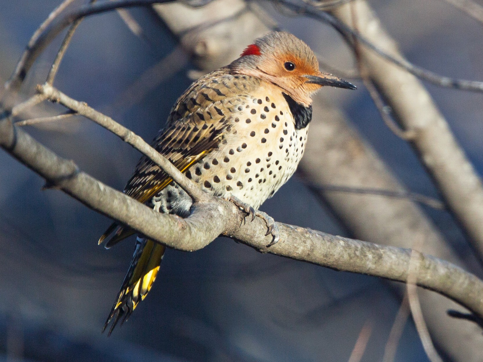 Northern Flicker - David Disher
