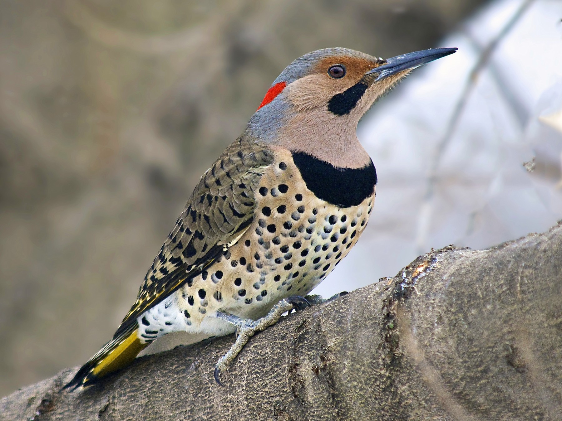 Northern Flicker - Warren Lynn