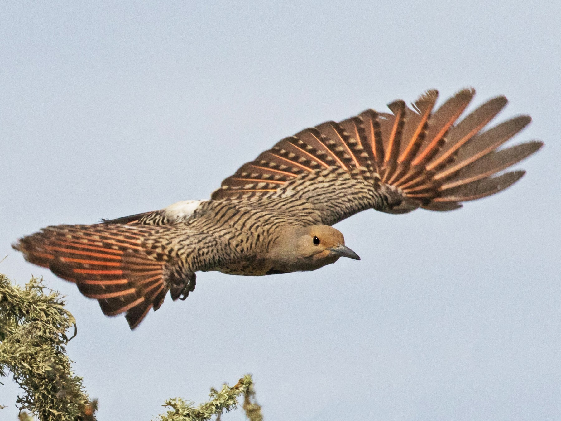 Northern Flicker - Kathleen Kent