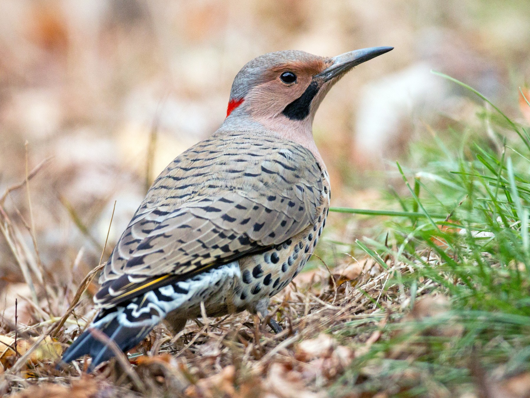 Northern Flicker - Ian Davies