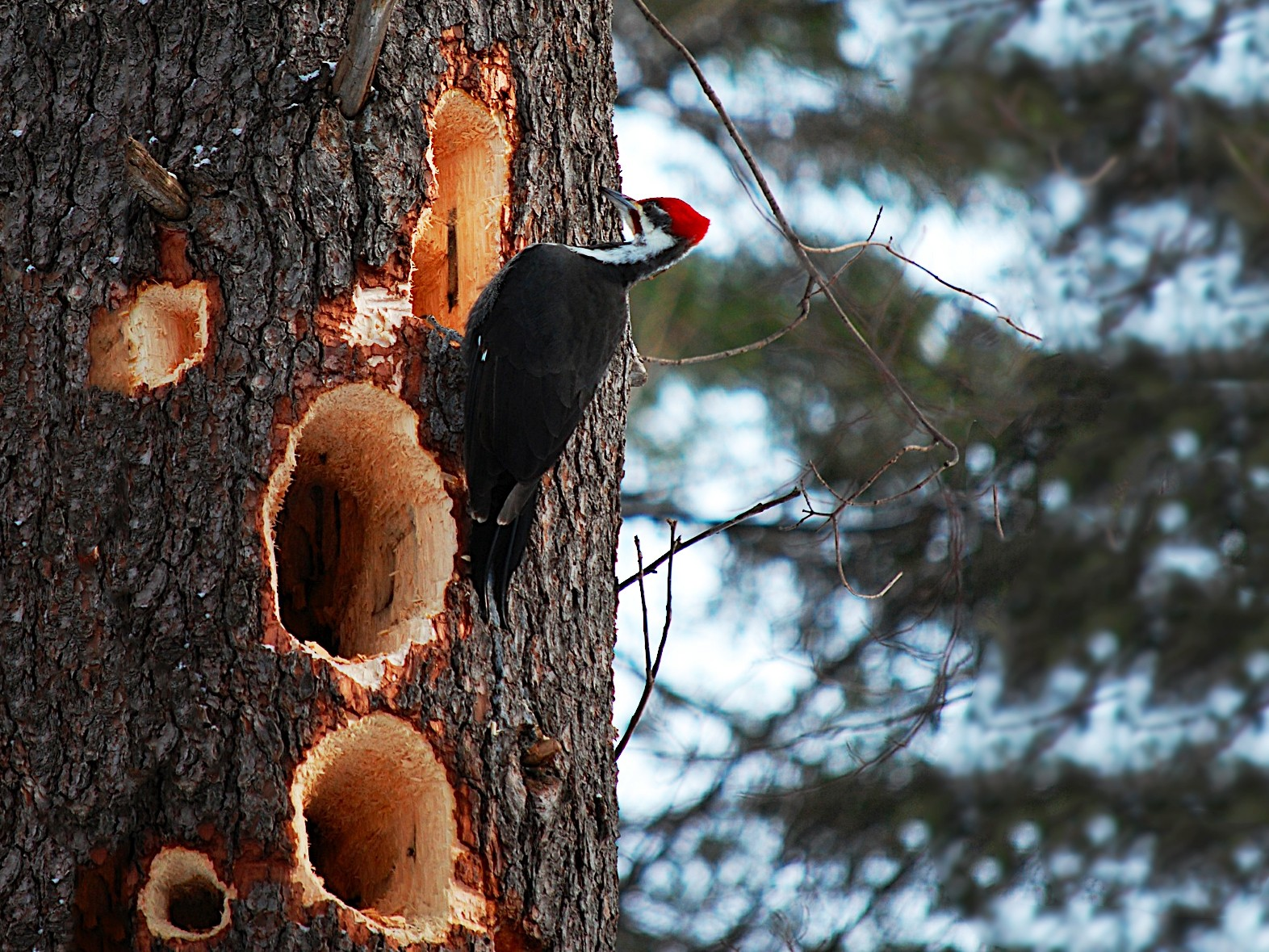 Pileated Woodpecker - Marc St. Onge