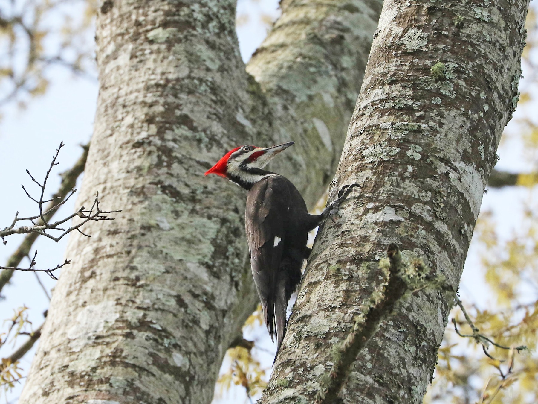 Pileated Woodpecker - Lori McDonald