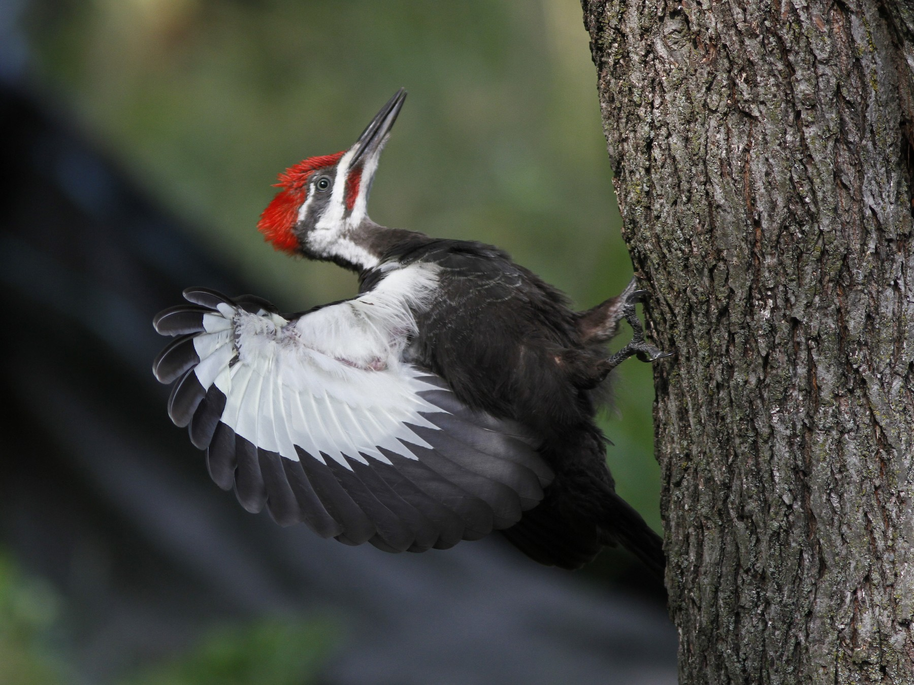 Pileated Woodpecker - Michael Tate