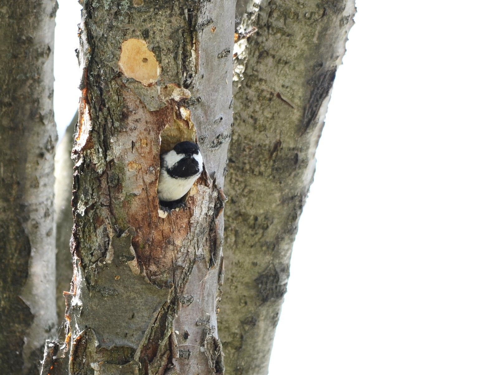 Black-capped Chickadee - Monique Maynard