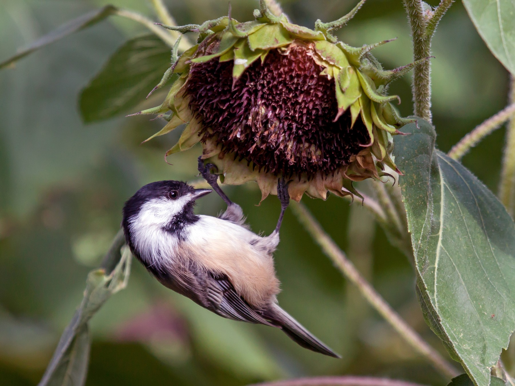 Black-capped Chickadee - Kent McFarland