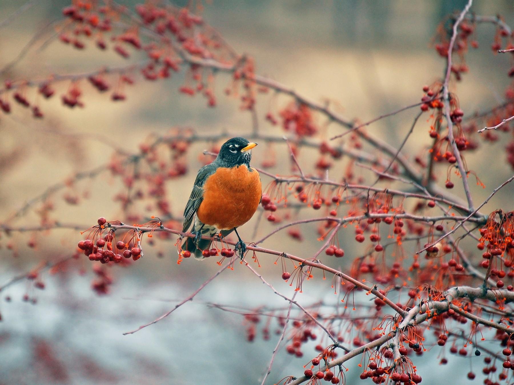 American Robin - Glenn Perricone