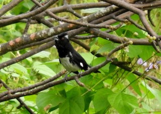 - Black-and-white Tanager