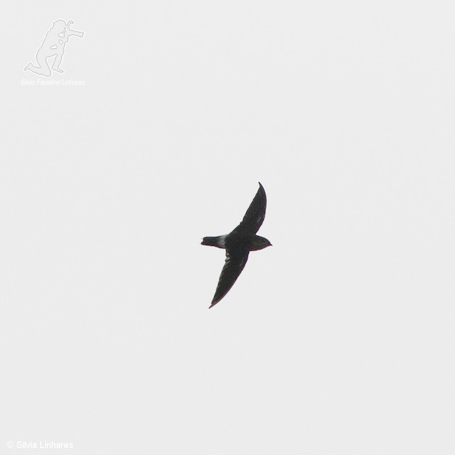 Band-rumped Swift