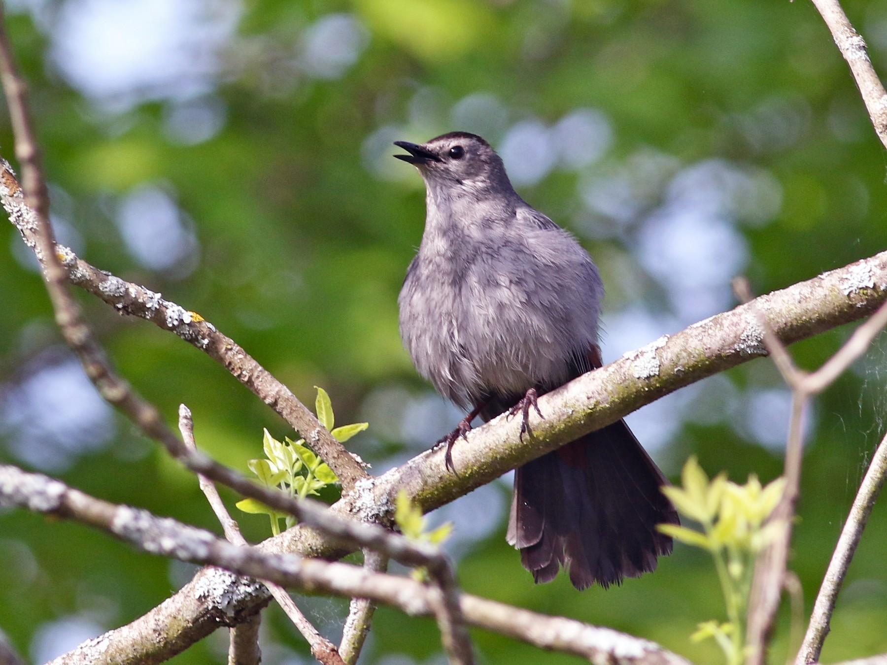 Gray Catbird - Jeff Bolsinger