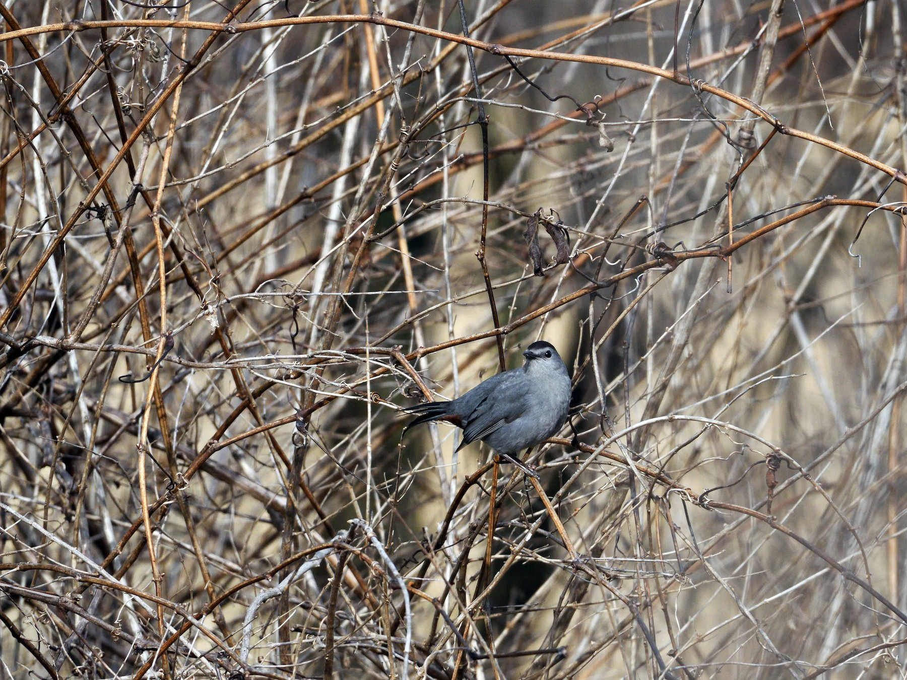 Gray Catbird - Barry Blust