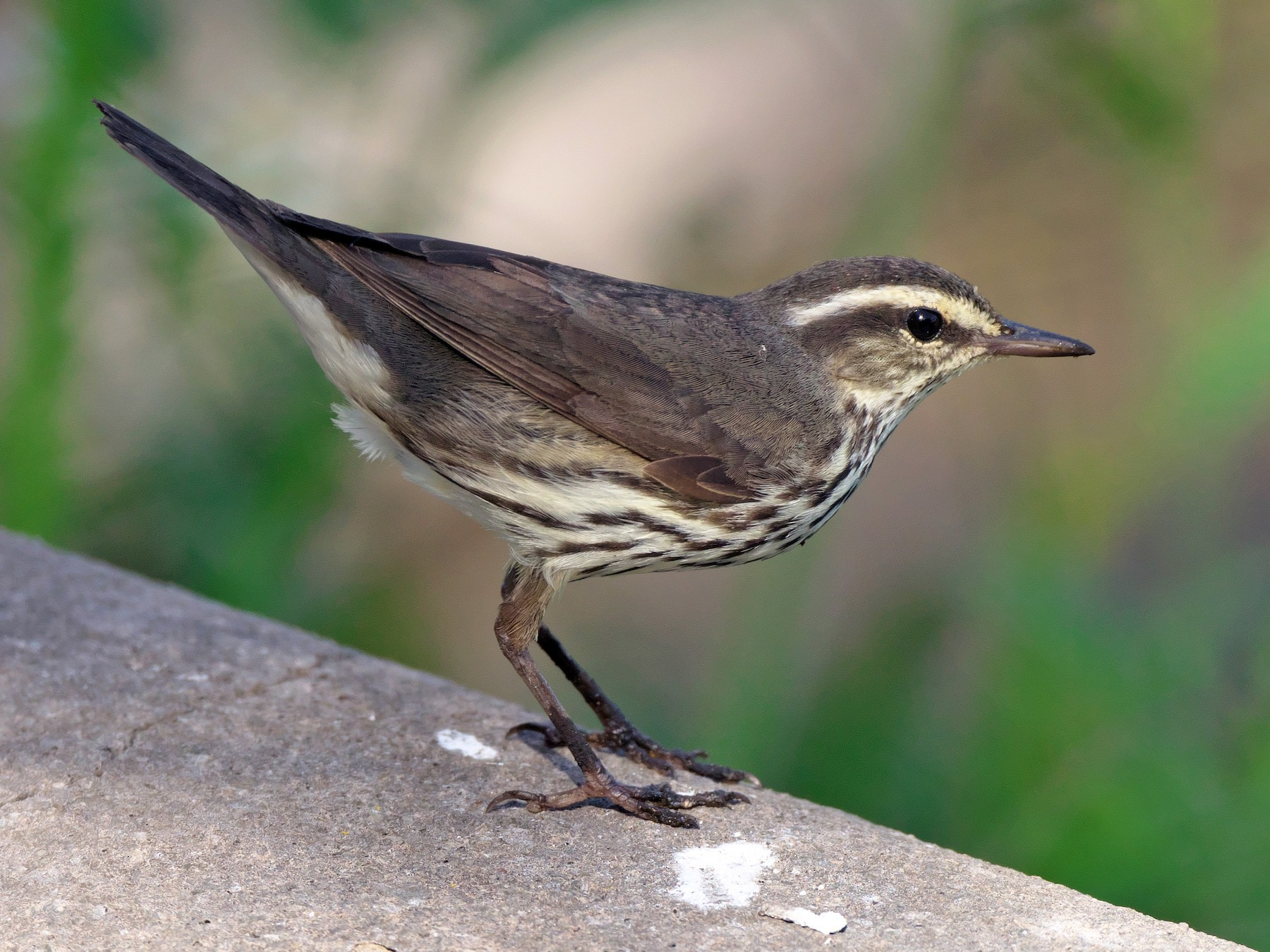 Northern Waterthrush - Paul Tavares