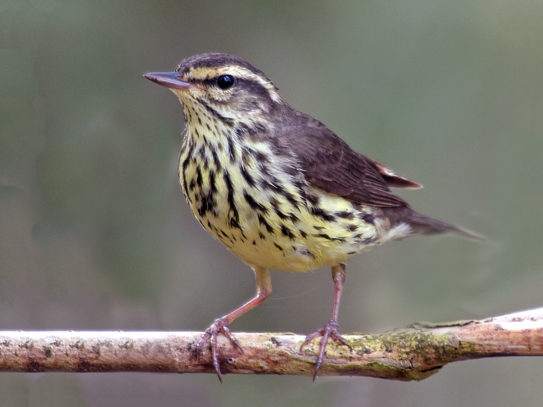 Northern Waterthrush - Steven Mlodinow