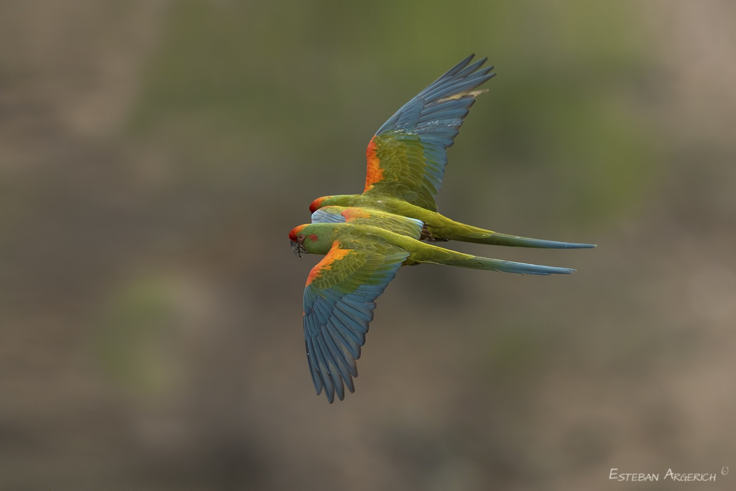 Red-fronted Macaw - Esteban Argerich