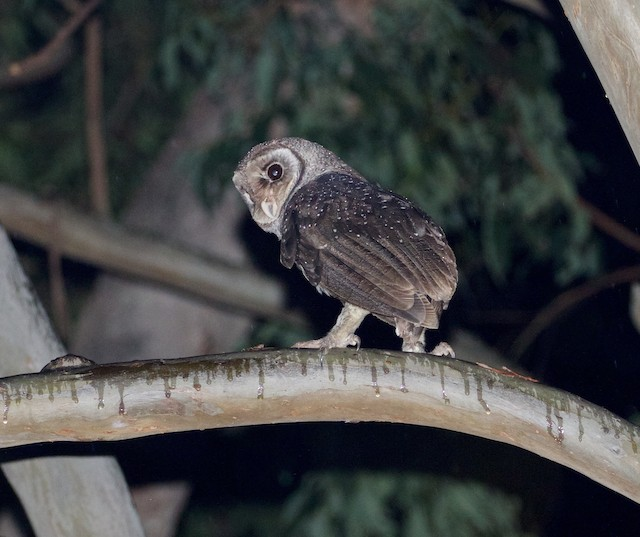 Sooty Owl (Greater)
