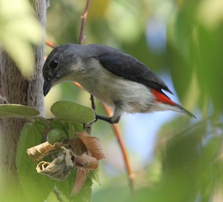 - Red-chested Flowerpecker
