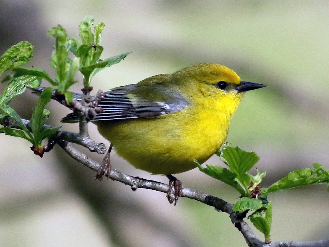 Blue-winged Warbler - Jay McGowan
