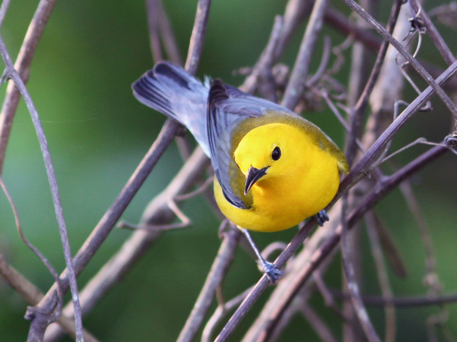 Prothonotary Warbler - Oscar  Johnson