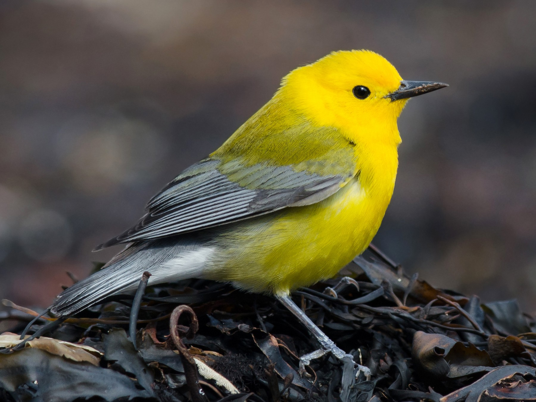 Prothonotary Warbler - Alix d'Entremont