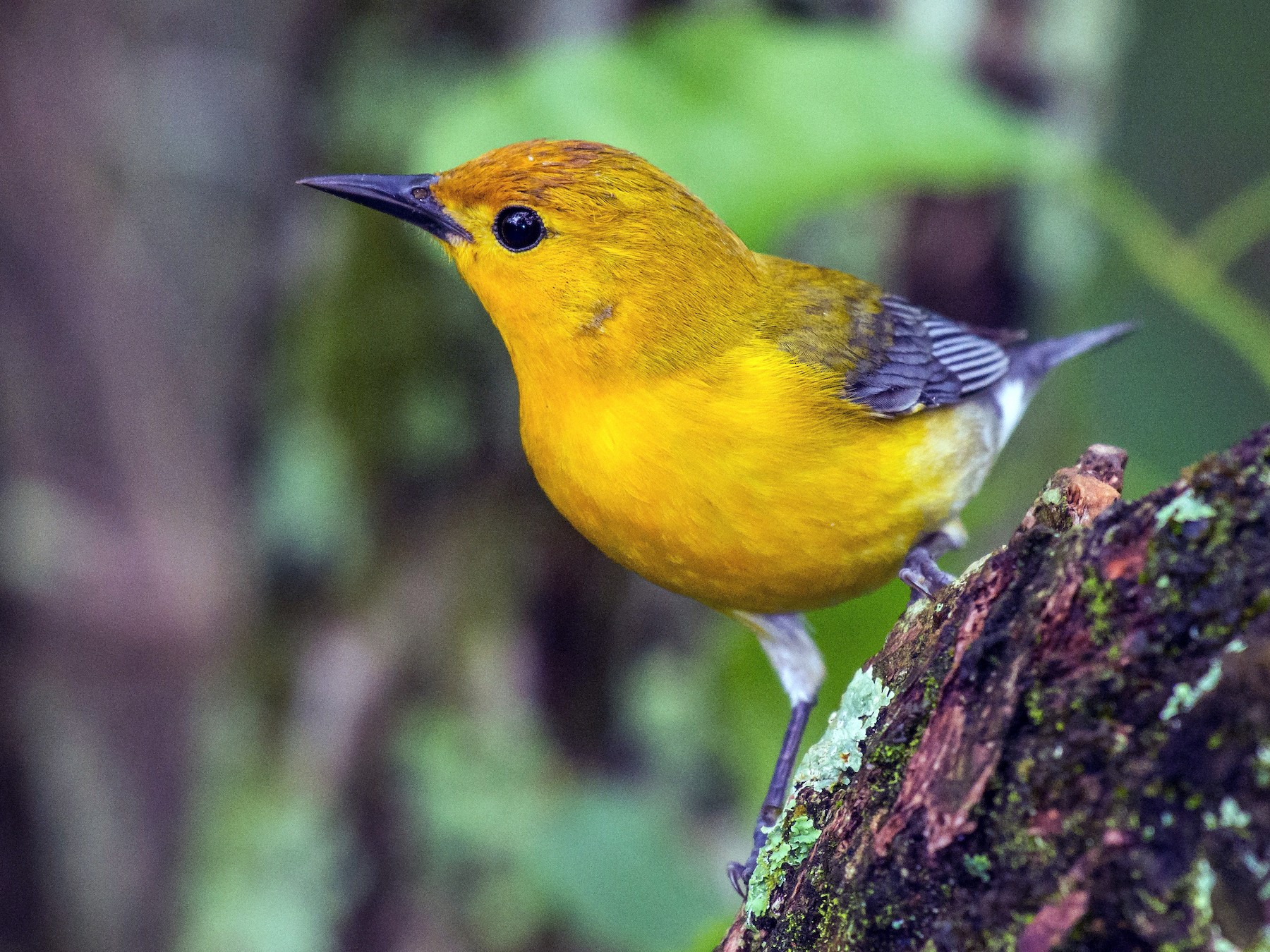 Prothonotary Warbler - Tal Pipkin