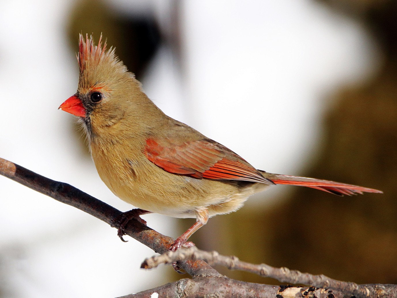 Northern Cardinal - Michel Laquerre