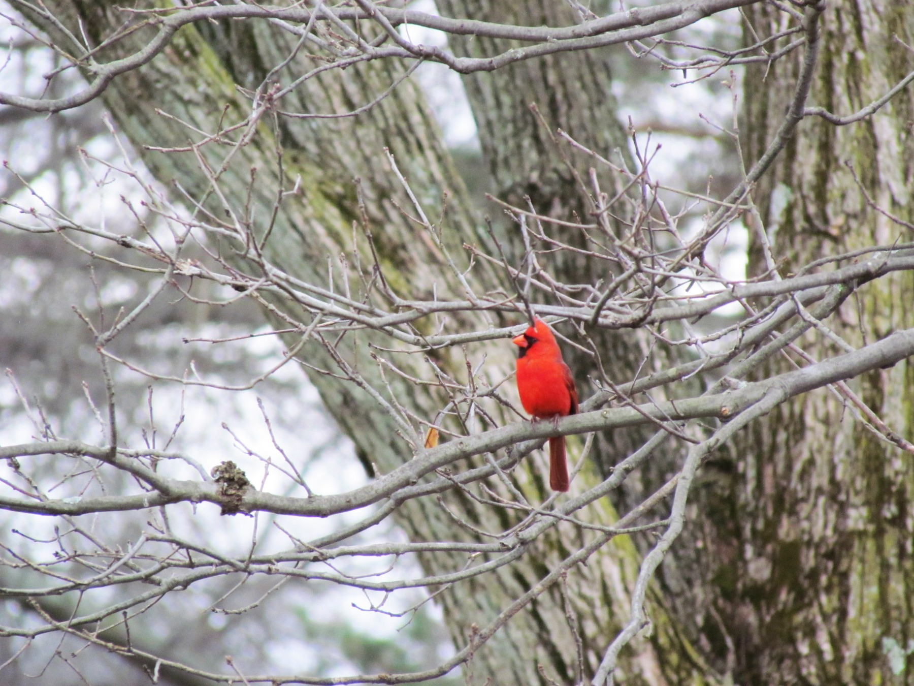 Northern Cardinal - Susan Carpenter
