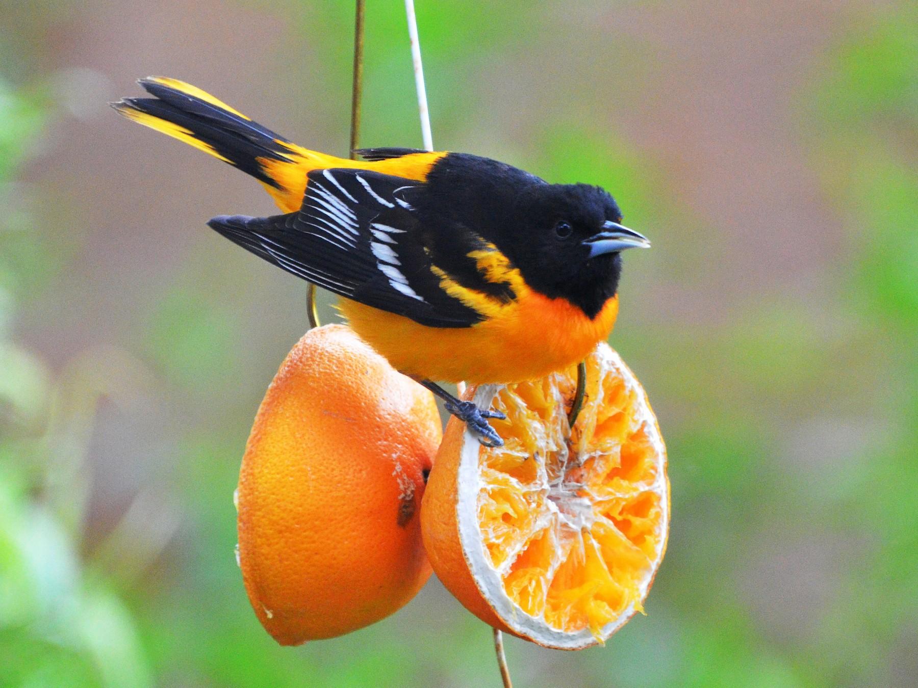 Baltimore Oriole - Winston Poon