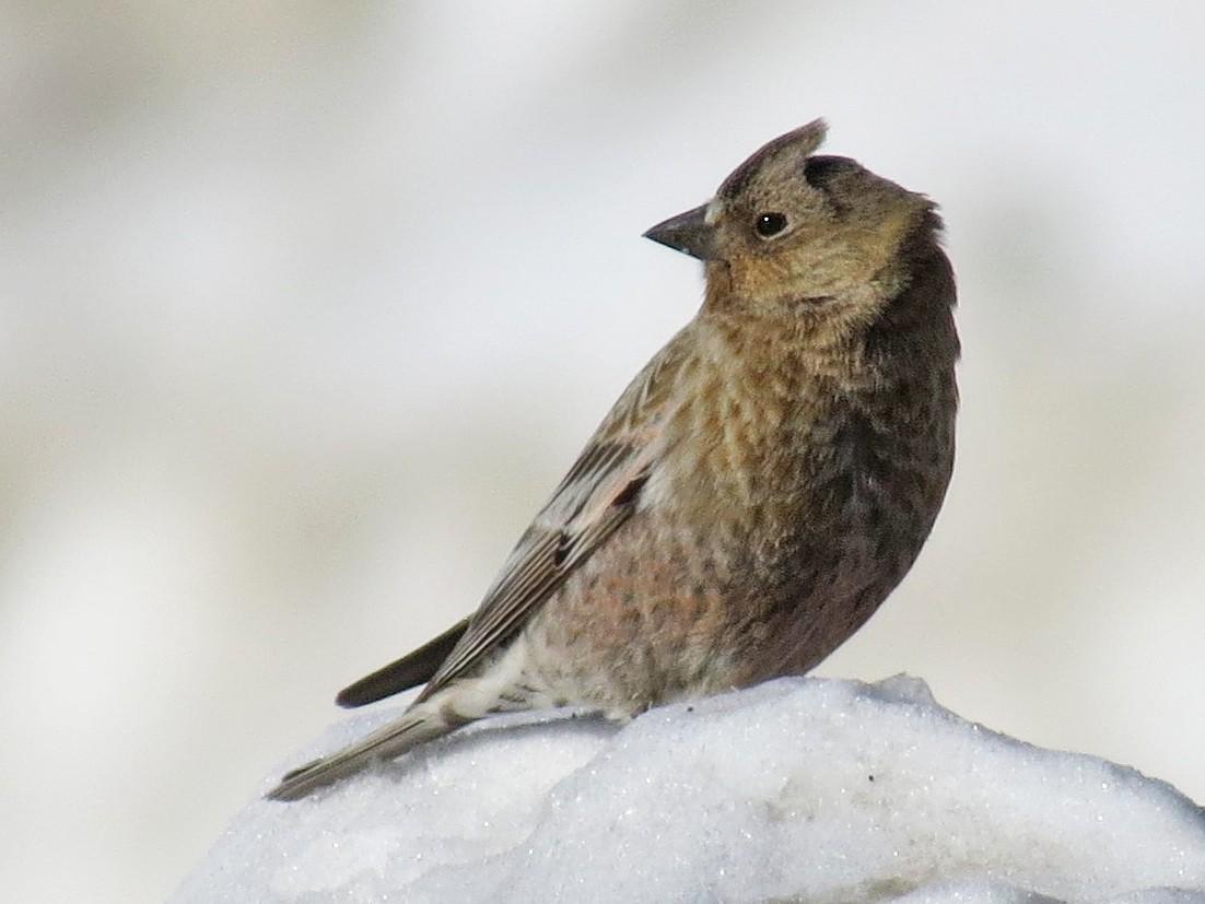 Brown-capped Rosy-Finch - Joan Baker