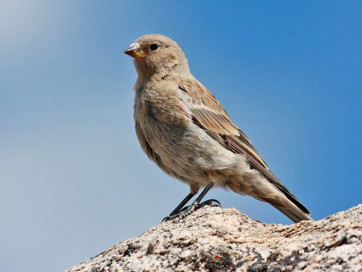 Brown-capped Rosy-Finch - Jay McGowan