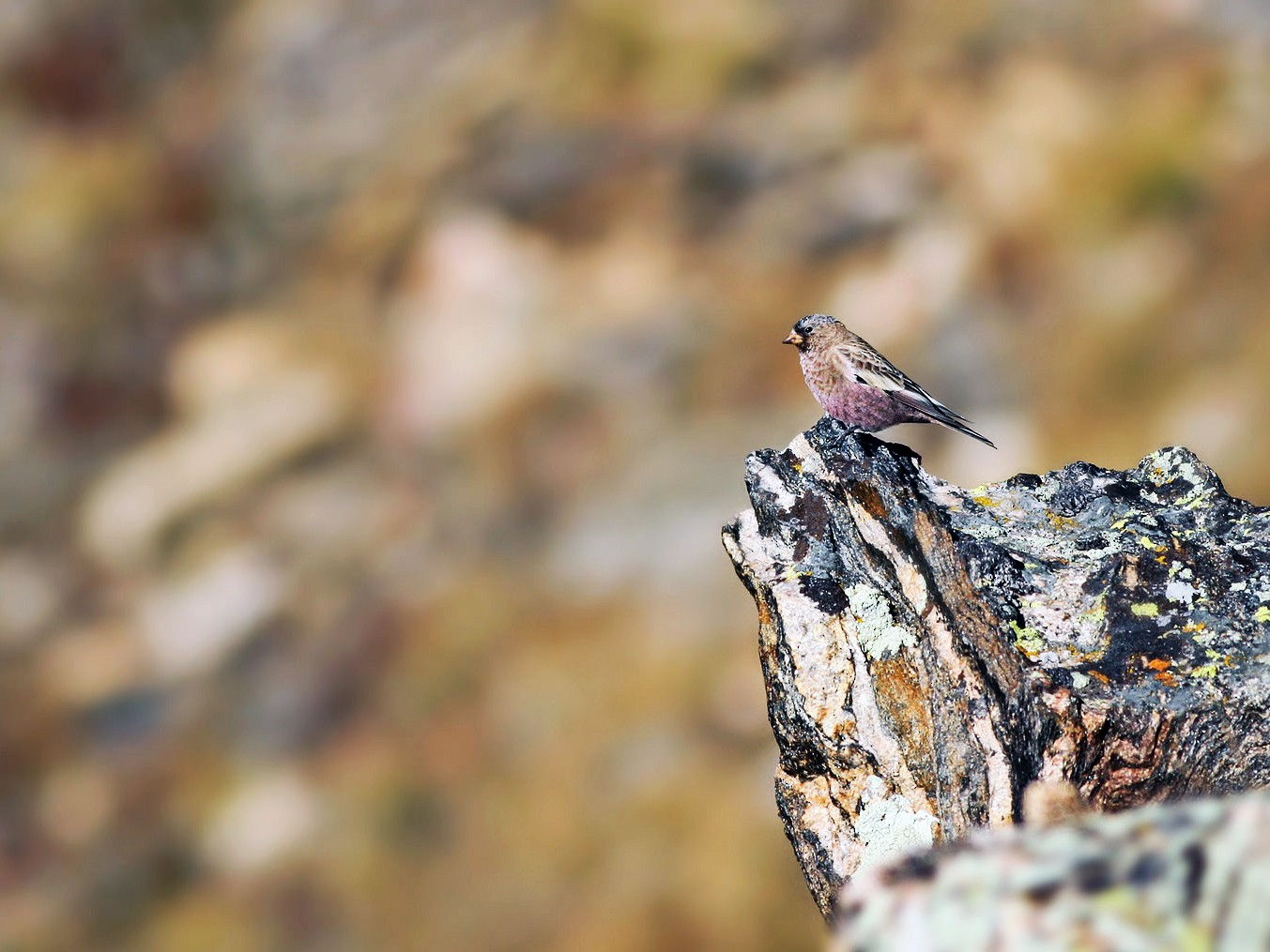 Brown-capped Rosy-Finch - Jeremiah Trimble