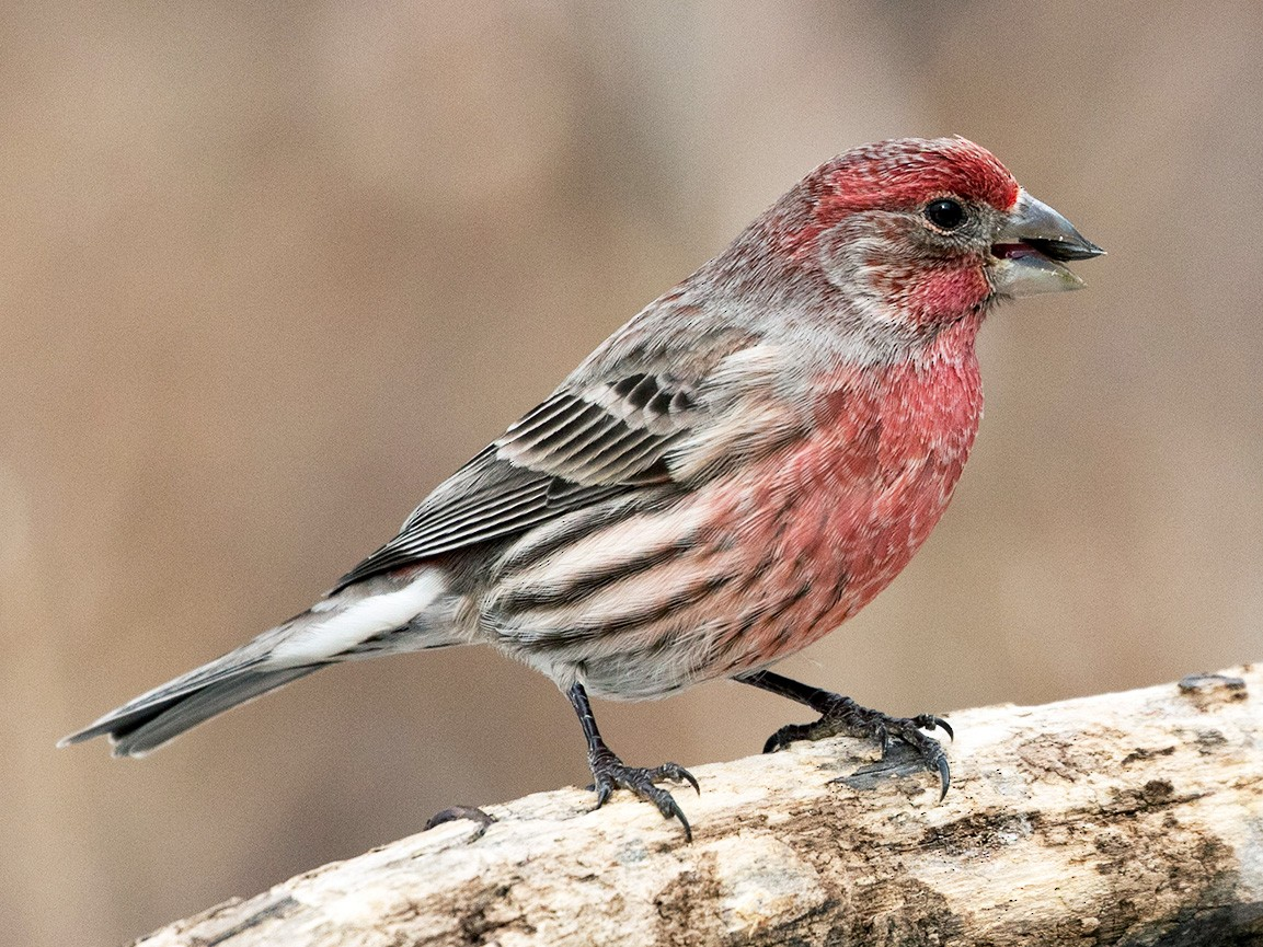 House Finch - Suzanne Labbé