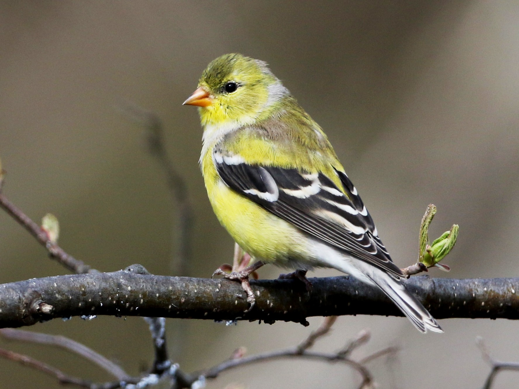 American Goldfinch - Jay McGowan