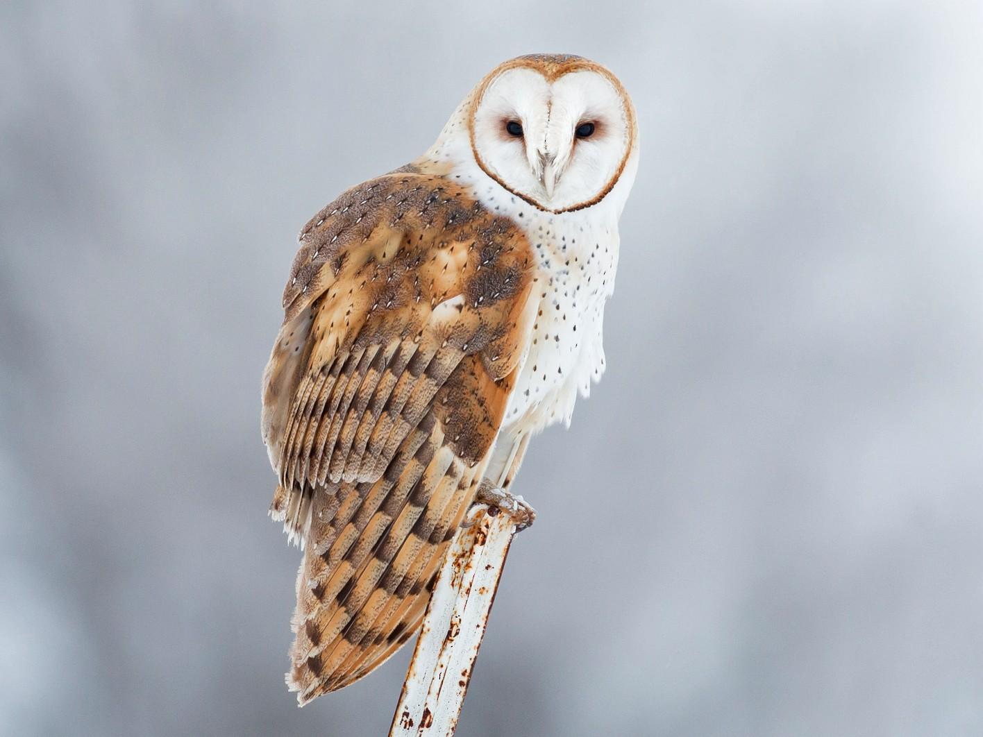 Barn Owl - Darren Clark