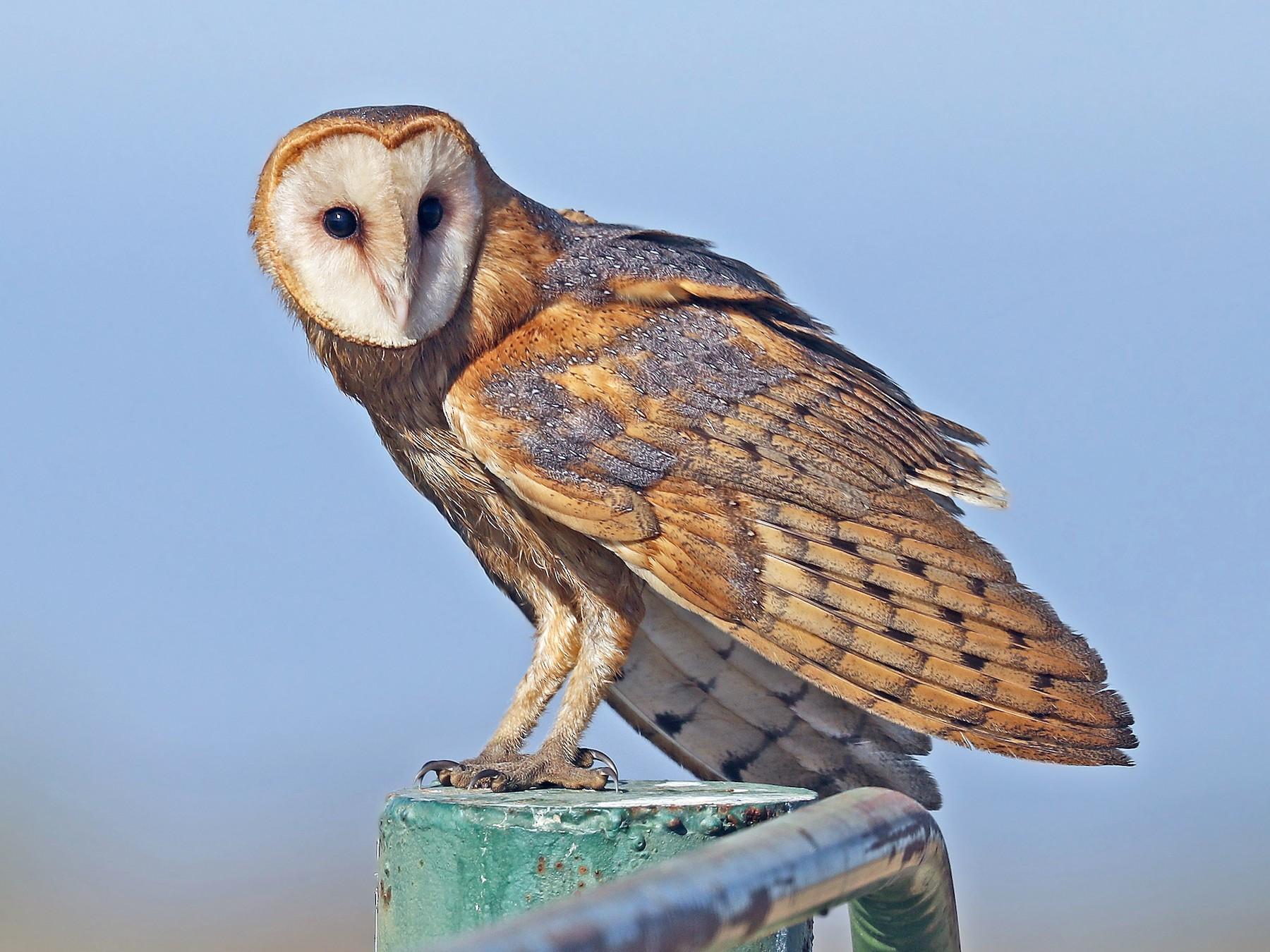 Barn Owl - Matt Davis
