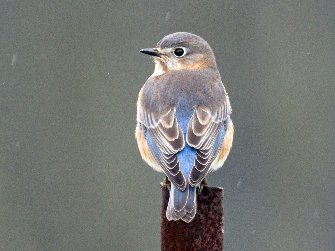 Eastern Bluebird - Gordon Dimmig