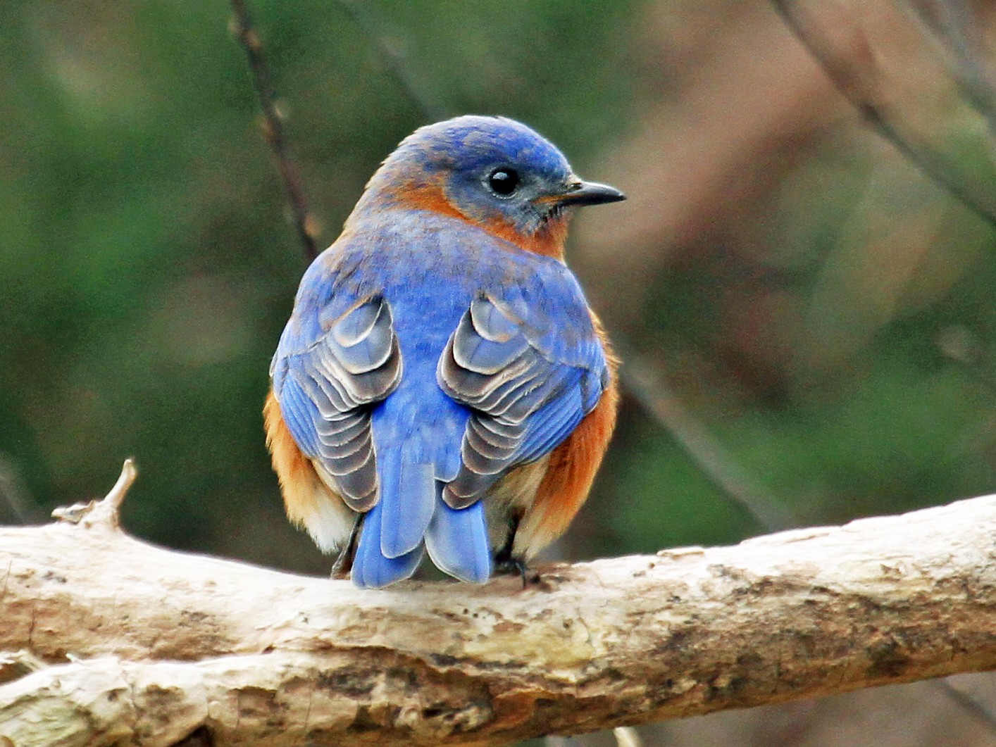 Eastern Bluebird - Ryan Schain