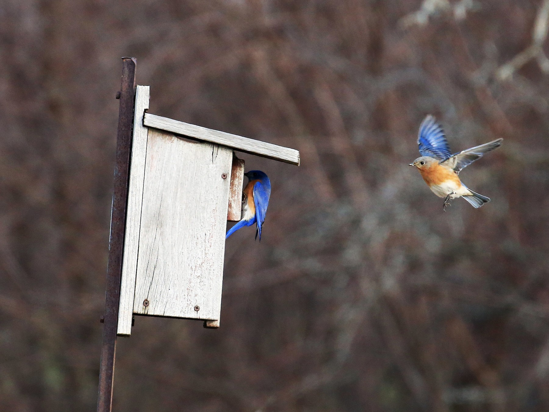 Eastern Bluebird - Tim Lenz