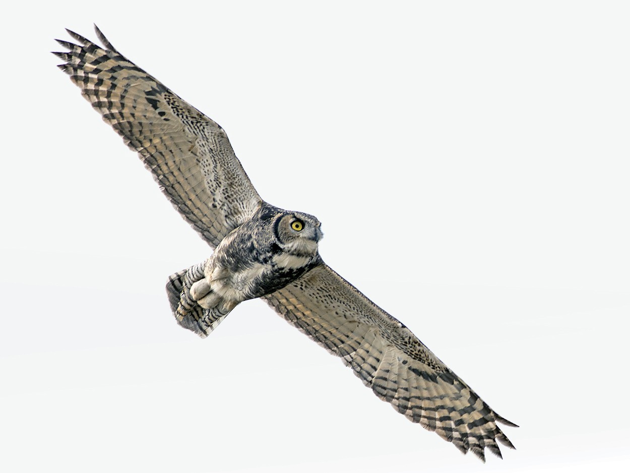Great Horned Owl - Zak Pohlen