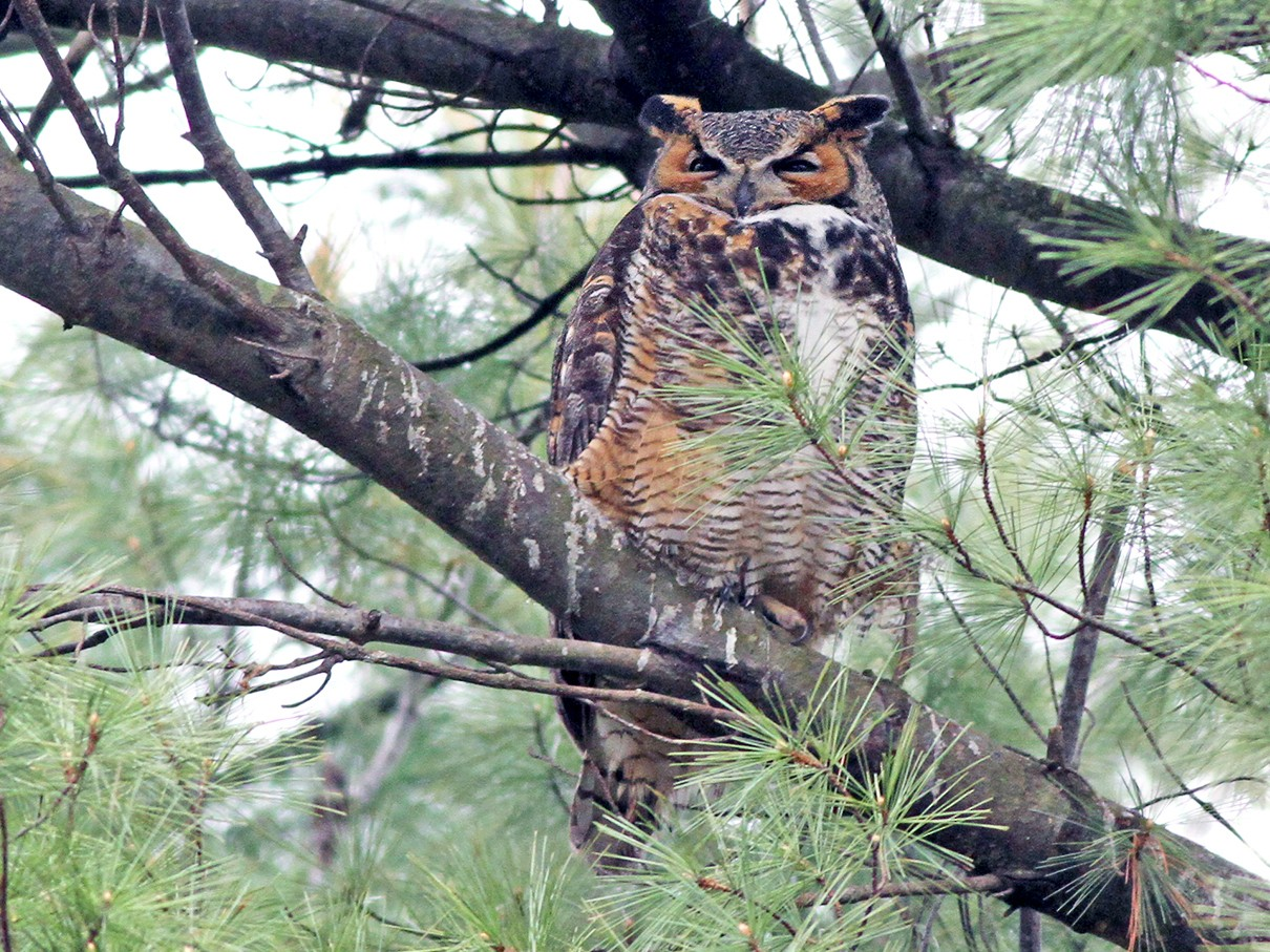 Great Horned Owl - Jeremiah Trimble
