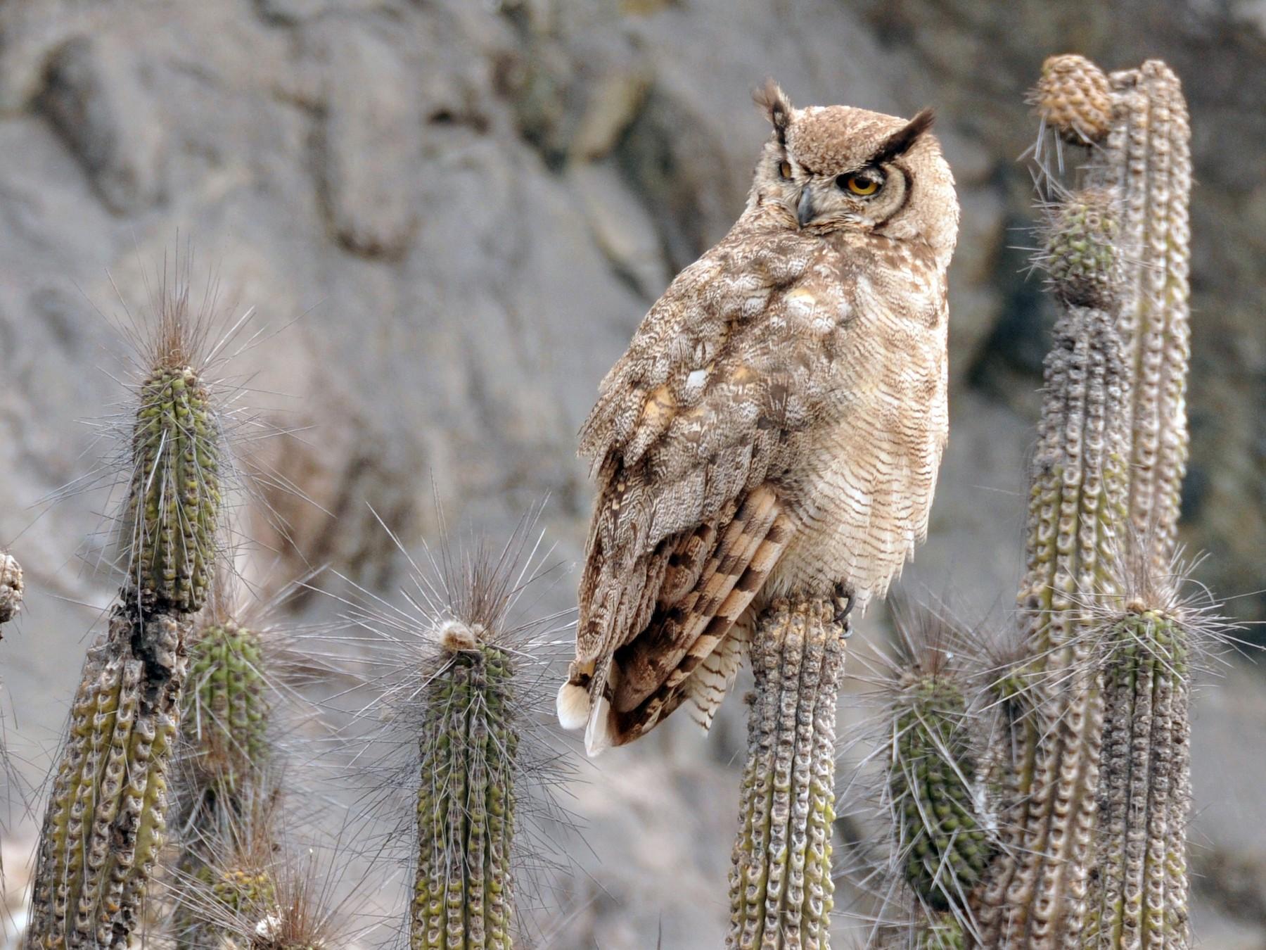 Great Horned Owl - Philippe DANDOIS