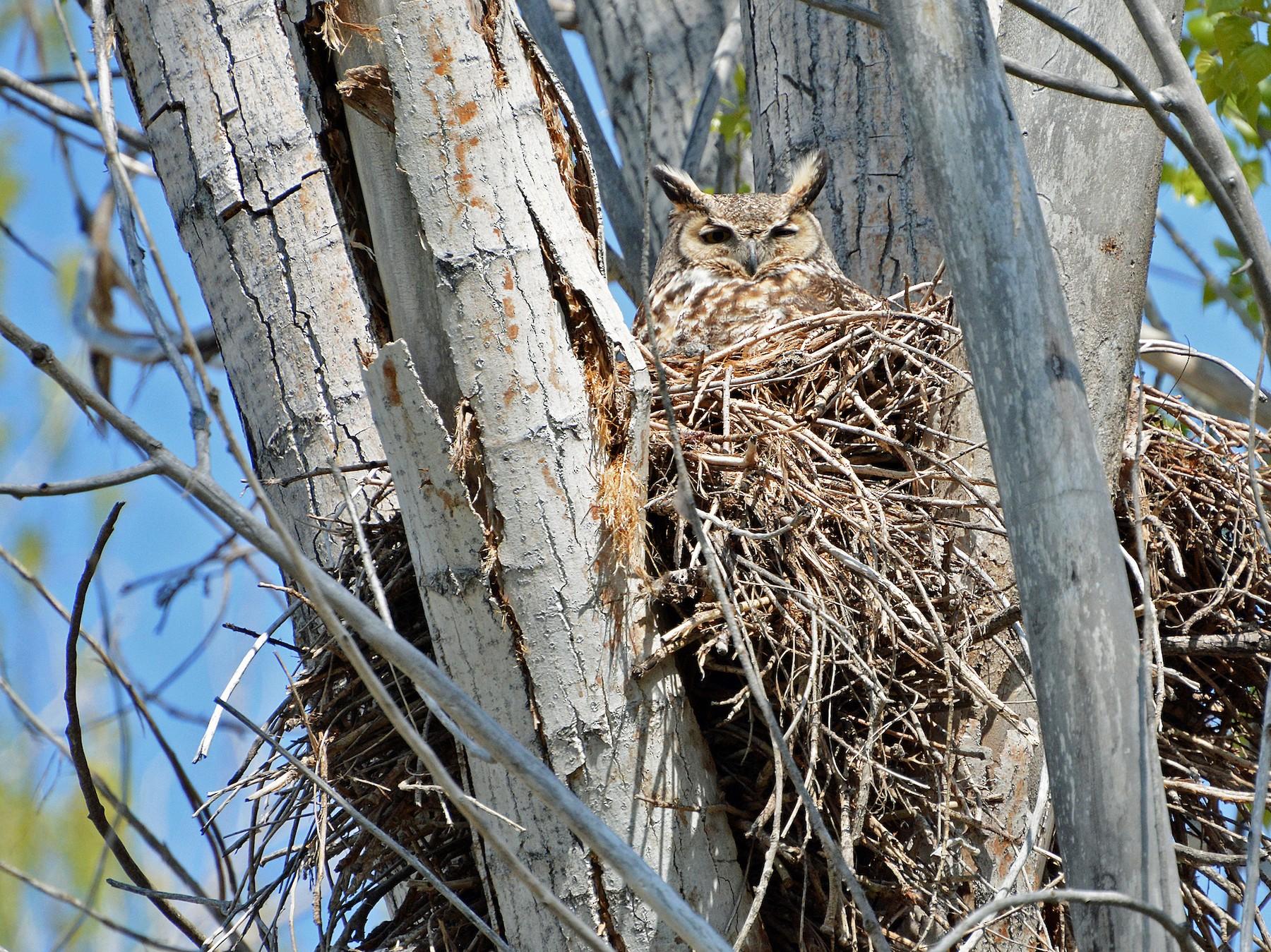 Great Horned Owl - Lewis Ulrey